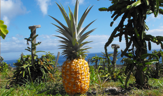 Field Ripened Pineapple