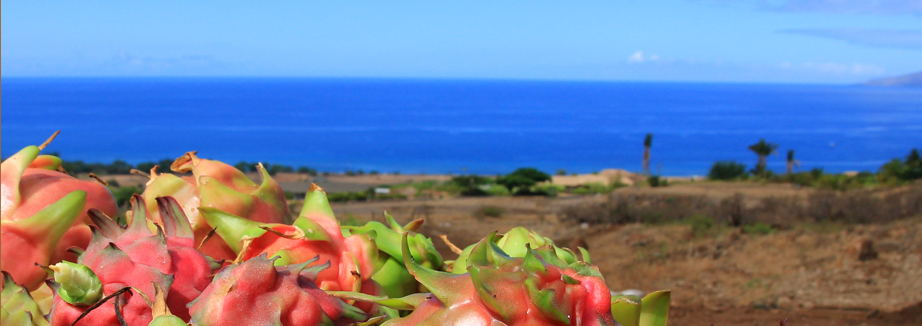 Dragonfruit with a panoramic ocean view