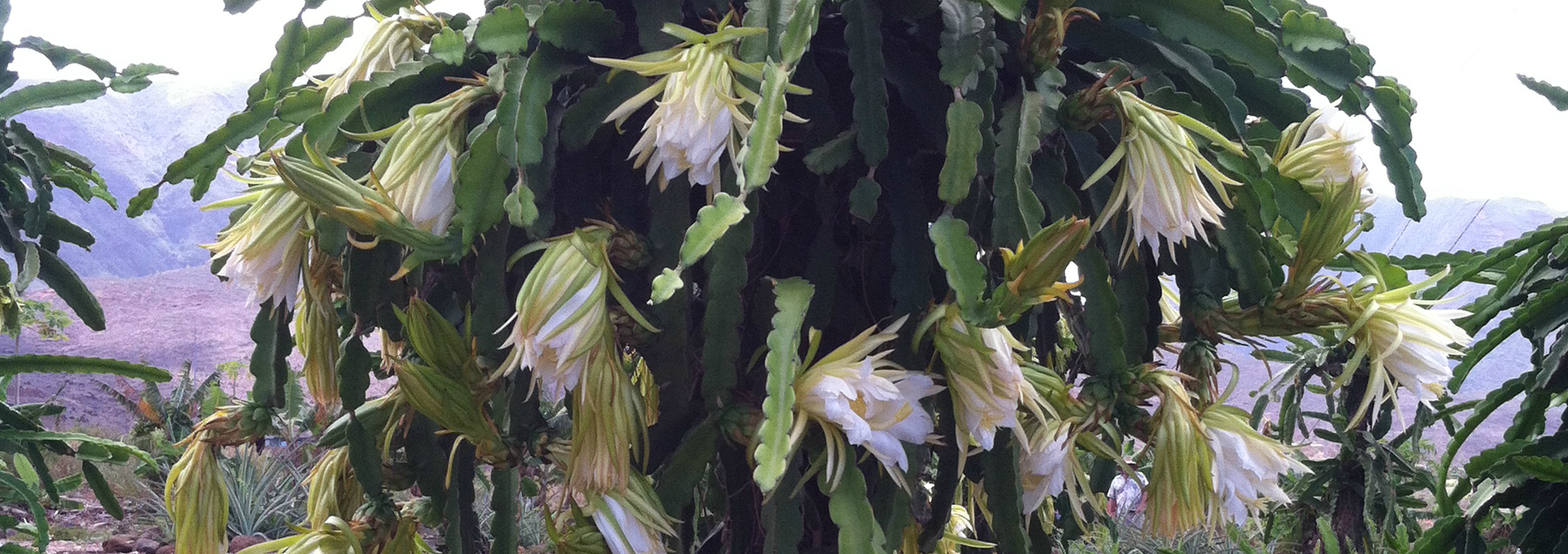 Beautiful Flowering Dragon Fruit Vine