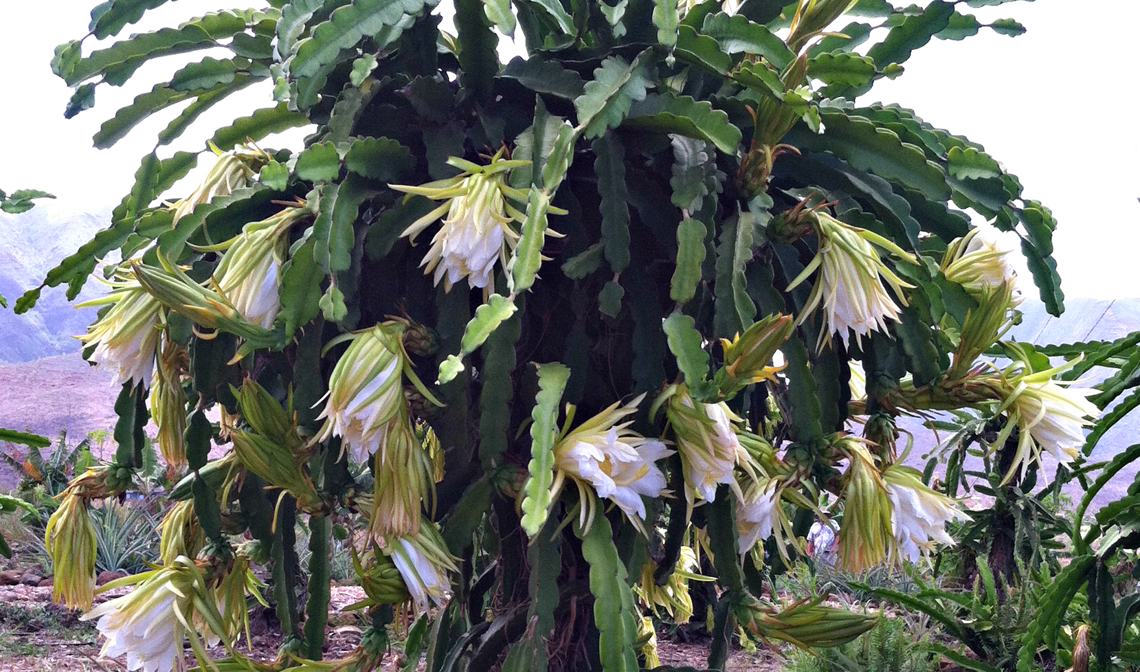 Flowering Dragonfruit Vine