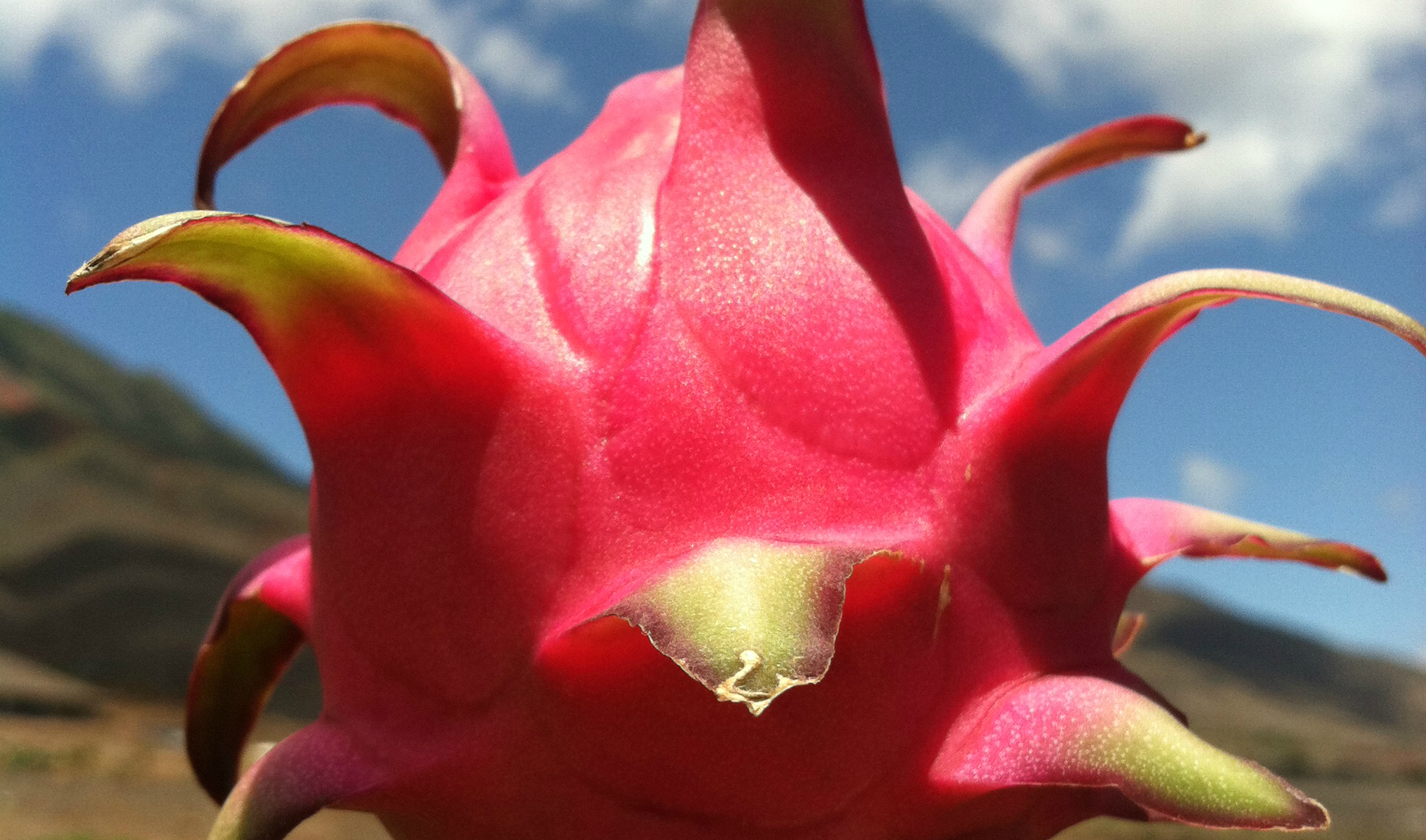 Hot Pink Dragon Fruit Picture