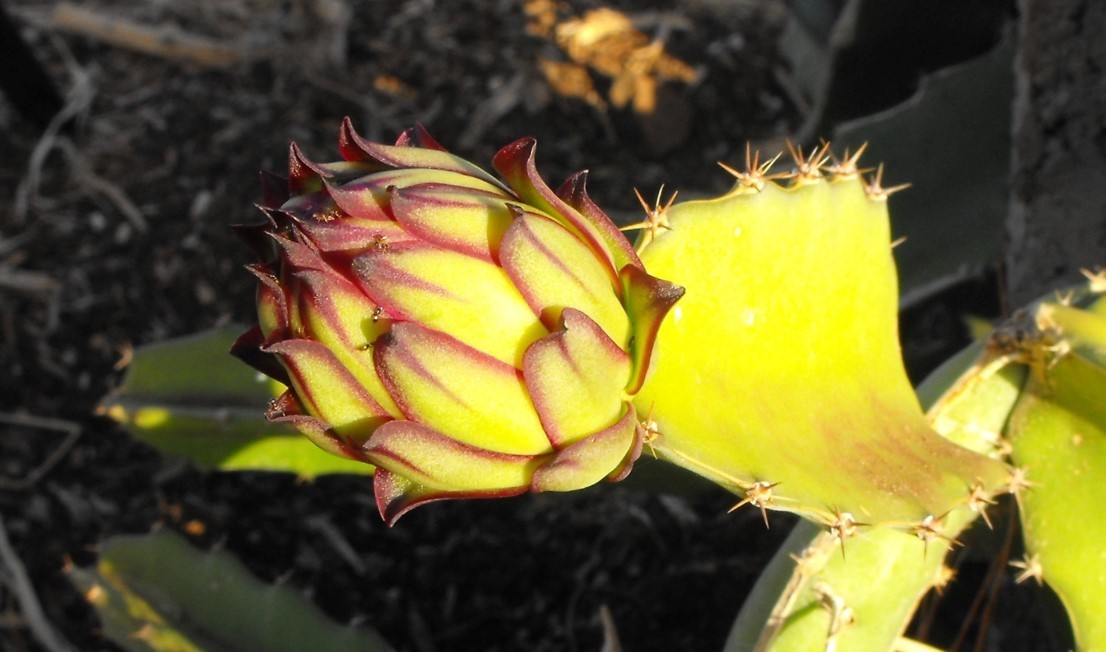 Developing flower bud from a hylocereus polyrhizus variety